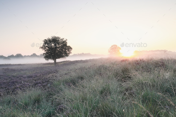 misty sunrise over hills with heather flowers - Stock Photo - Images