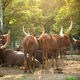 herd of ankole watusi cattle in zoo - PhotoDune Item for Sale