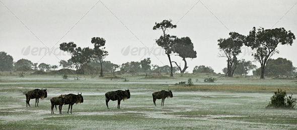 Wildebeest in the rain, Serengeti National Park, Serengeti, Tanzania, Africa - Stock Photo - Images