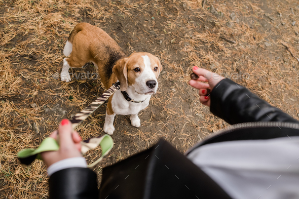 Cute beagle puppy looking at yummy snack held by his owner during chill - Stock Photo - Images
