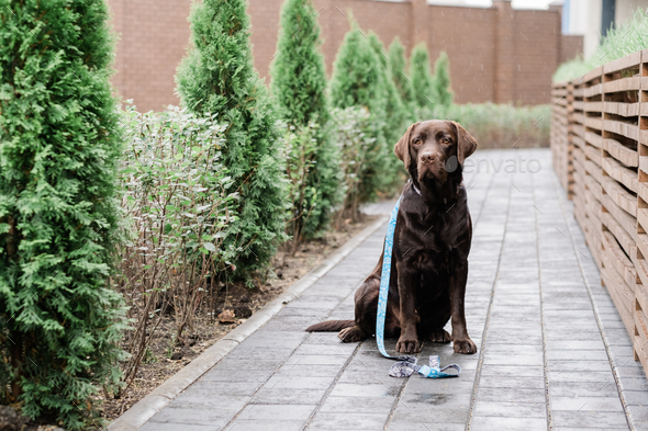 Purebred labrador sitting by wooden fence in the rain and waiting for his owner - Stock Photo - Images