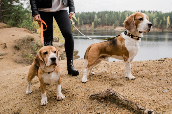 Young woman in skinny jeans and leather jacket chilling with cute beagle puppies - Stock Photo - Images