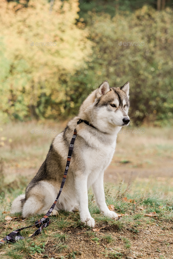 Cute purebred husky dog with handmade collar and leash sitting on forest path - Stock Photo - Images