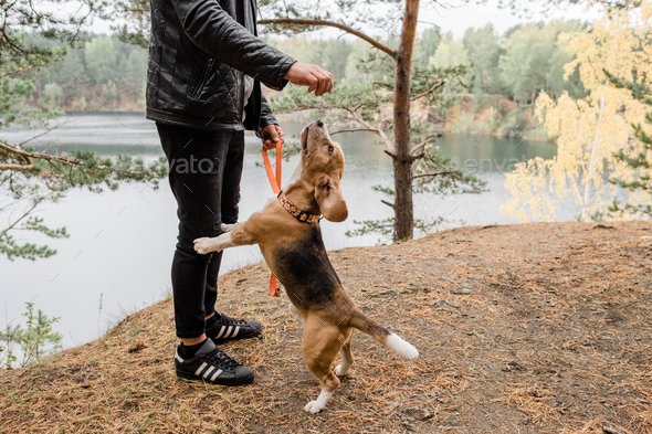 Young man in casualwear playing with cute funny beagle puppy by lake - Stock Photo - Images