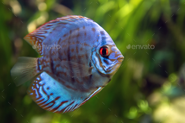 Discus in an aquarium on a green background - Stock Photo - Images