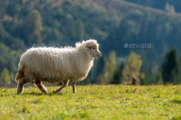 Sheep on pasture in mountains - Stock Photo - Images