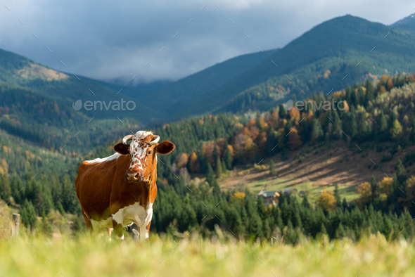 Brown cow on pasture in mountains - Stock Photo - Images