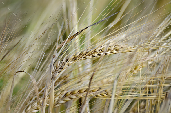 Bread spikelets on the field - Stock Photo - Images