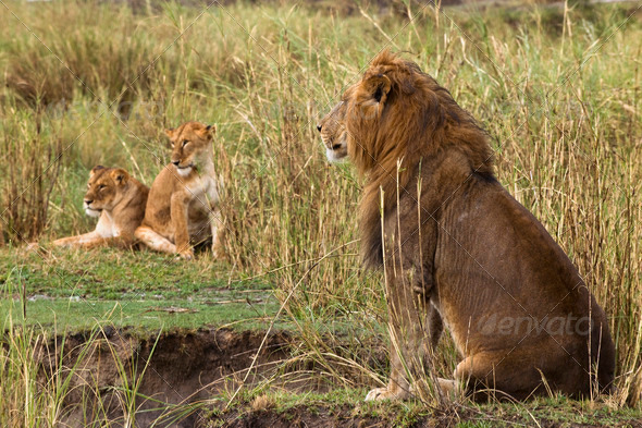 Adult lion sitting and two lionesses in the background, side view - Stock Photo - Images