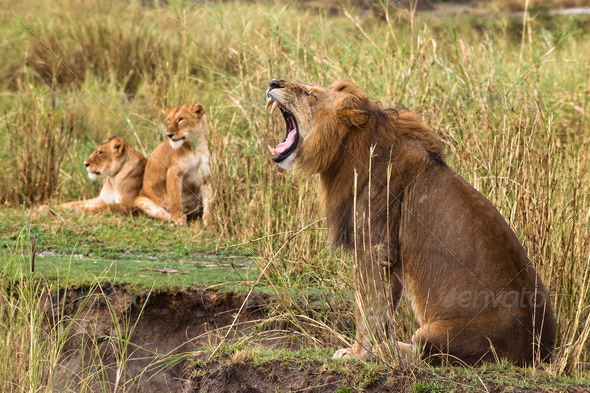 Adult lion yawning and two lionesses in the background, side view - Stock Photo - Images