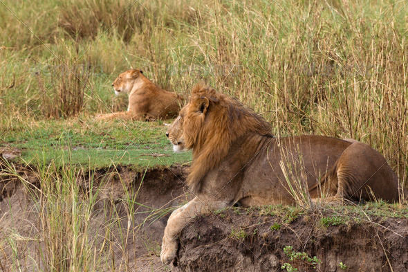 Adult lion lying and a lioness in the background, side view - Stock Photo - Images