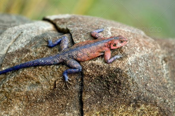 Red-headed Rock Agama, Tanzania, Africa - Stock Photo - Images