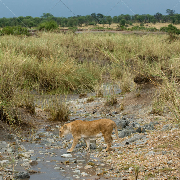 Lioness in stream, Serengeti National Park, Serengeti, Tanzania - Stock Photo - Images