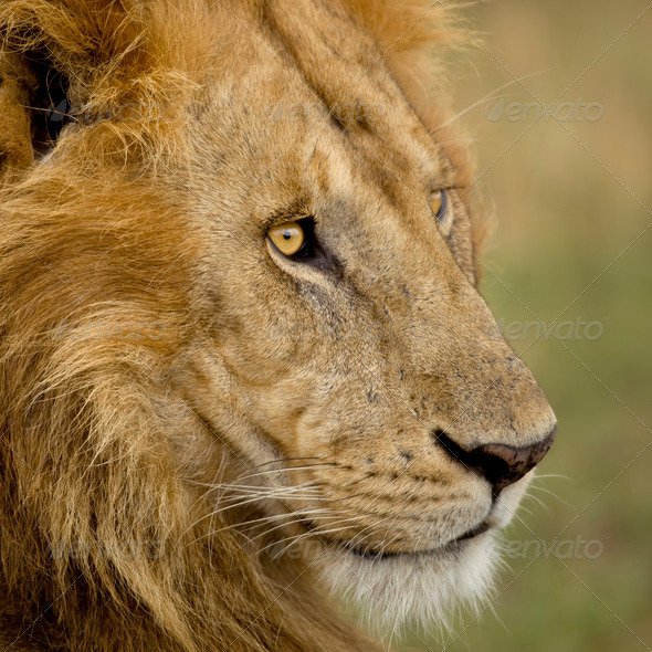Close-up of a lion in the Serengeti, Tanzania, Africa - Stock Photo - Images