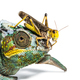 Migratory locust, Locusta migratoria and Panther chameleon, Furcifer pardalis - PhotoDune Item for Sale