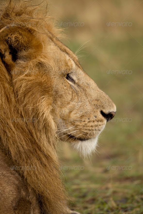 Close-up profile of adult lion, Serengeti National Park, Serengeti, Tanzania - Stock Photo - Images