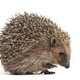 European hedgehog - PhotoDune Item for Sale