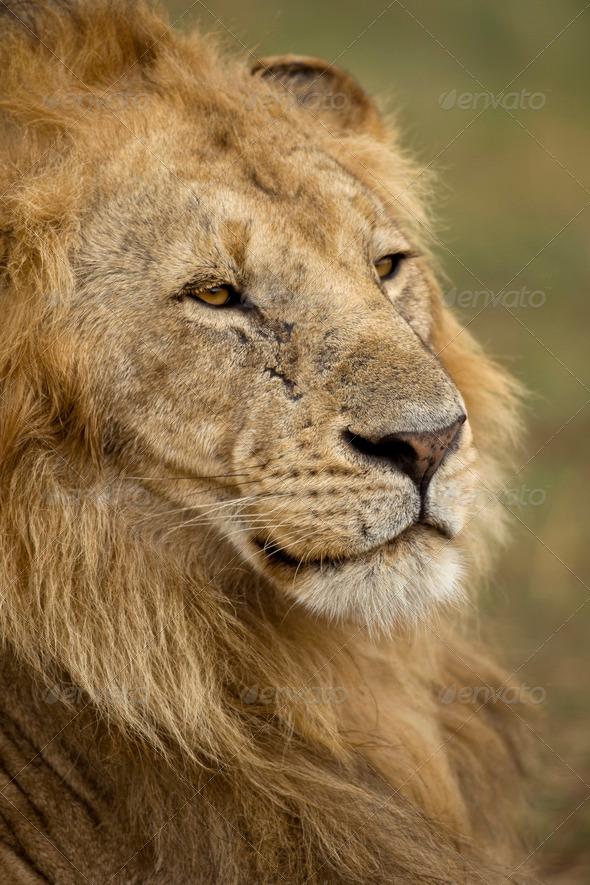 Close-up of Lion, Serengeti National Park, Serengeti, Tanzania, Africa - Stock Photo - Images