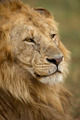 Close-up of Lion, Serengeti National Park, Serengeti, Tanzania, Africa