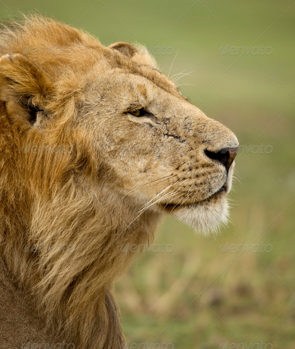 Close-up profile of adult lion, Serengeti National Park, Serengeti, Tanzania - Stock Photo - Images