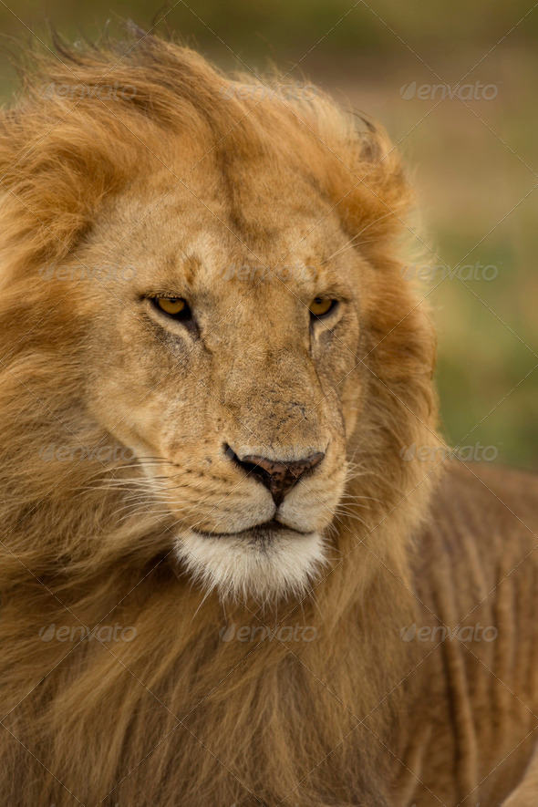Close-up of Lion, Serengeti National Park, Serengeti, Tanzania, Africa - Stock Photo - Images