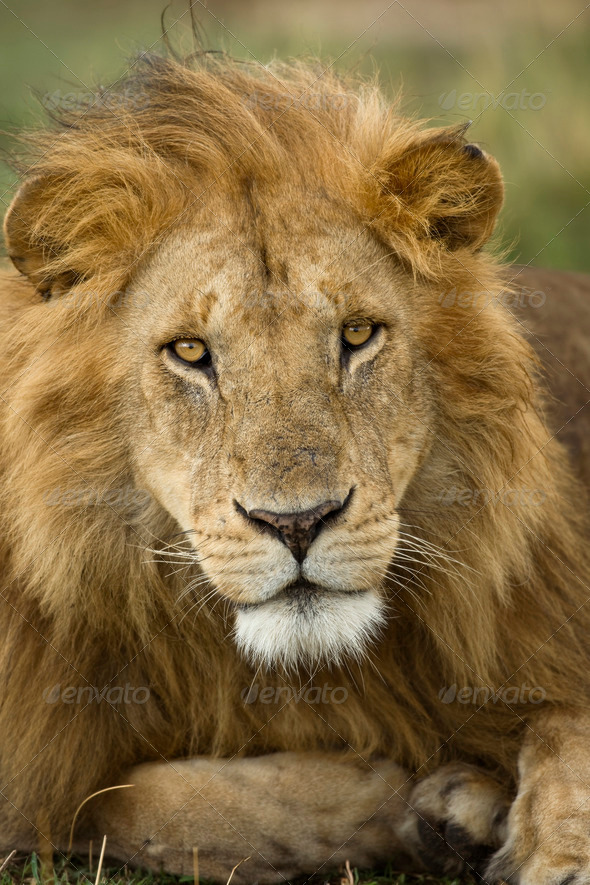 Close-up portrait of Lion, Serengeti National Park, Serengeti, Tanzania, Africa - Stock Photo - Images