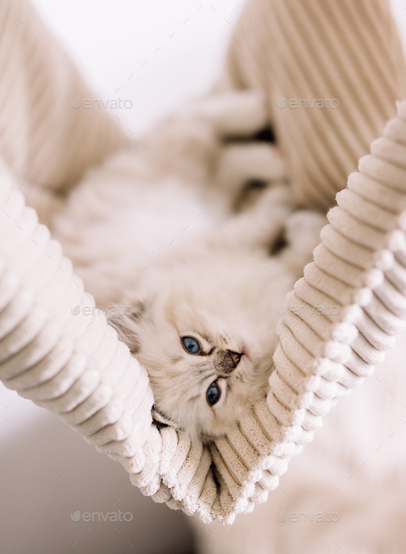 Ragdoll cat, small cute kitten portrait in funny pose at home - Stock Photo - Images