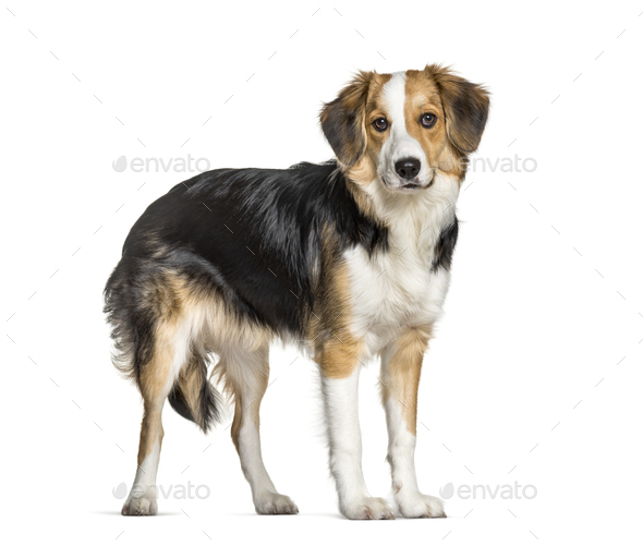 Mixed-breed with a border collie standing against white background - Stock Photo - Images