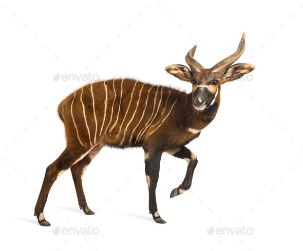 Bongo, antelope, Tragelaphus eurycerus walking against white background - Stock Photo - Images