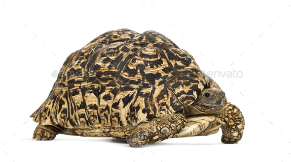 Leopard tortoise, Stigmochelys pardalis, in front of white background - Stock Photo - Images