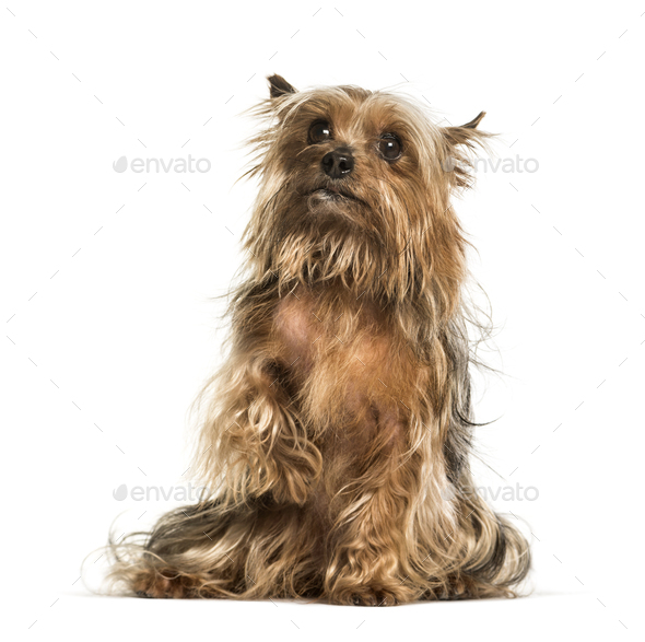 Yorkshire terrier sitting against white background - Stock Photo - Images