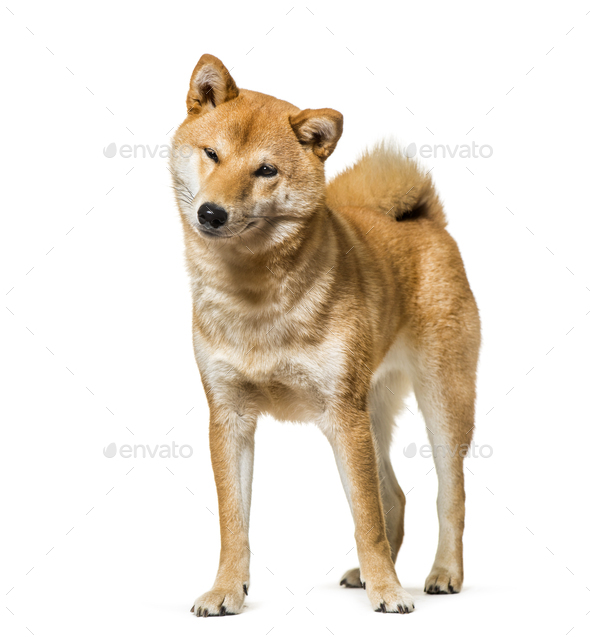 Shiba Inu standing against white background - Stock Photo - Images
