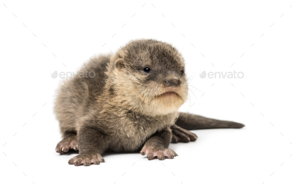 Baby Asian small-clawed otter - Stock Photo - Images