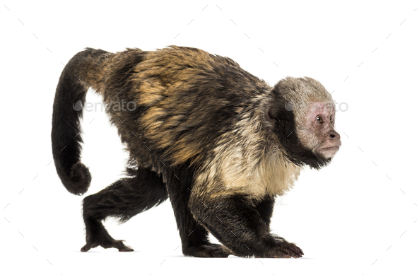Golden-Bellied Capuchin, Sapajus xanthosternos - Stock Photo - Images