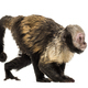 Golden-Bellied Capuchin, Sapajus xanthosternos - PhotoDune Item for Sale