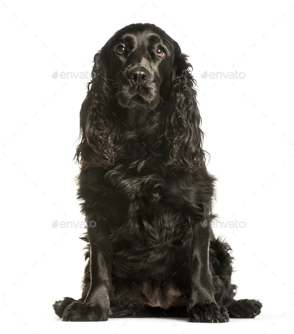 Cocker Spaniels sitting against white background - Stock Photo - Images