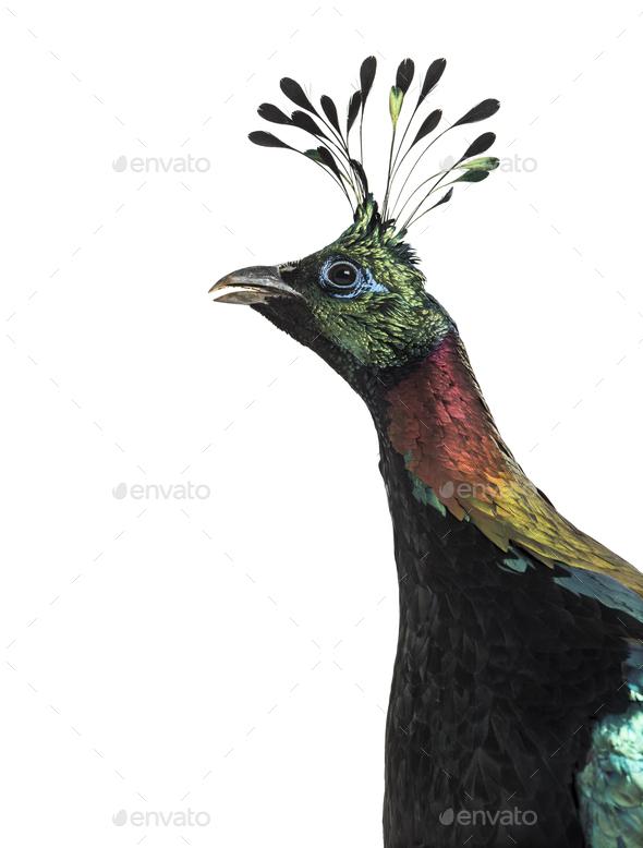 Impeyan pheasant or Himalayan monal - Stock Photo - Images