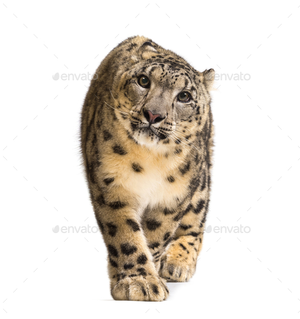 Snow leopard, Panthera uncia, also known as the ounce walking against white background - Stock Photo - Images