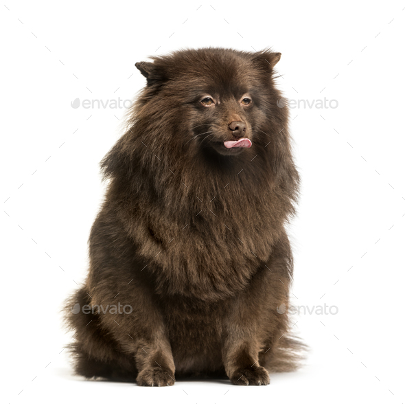 Keeshond sitting against white background - Stock Photo - Images
