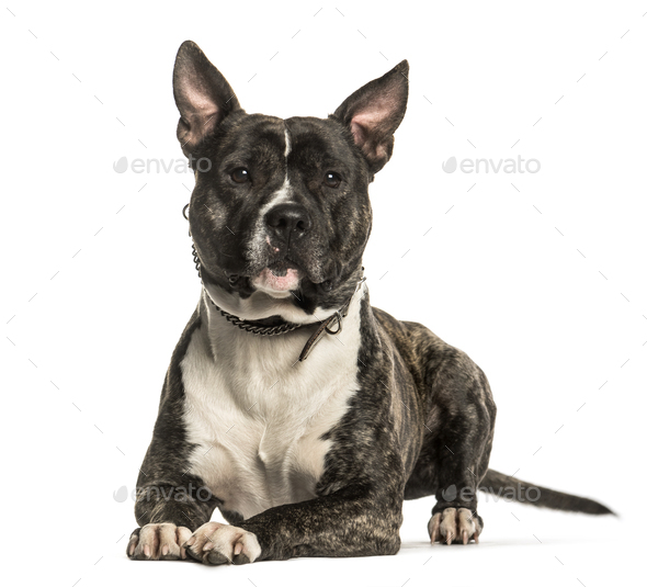 American Staffordshire Terrier lying against white background - Stock Photo - Images