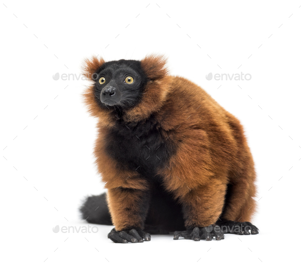 Red ruffed lemur, Varecia rubra, sitting against white background - Stock Photo - Images