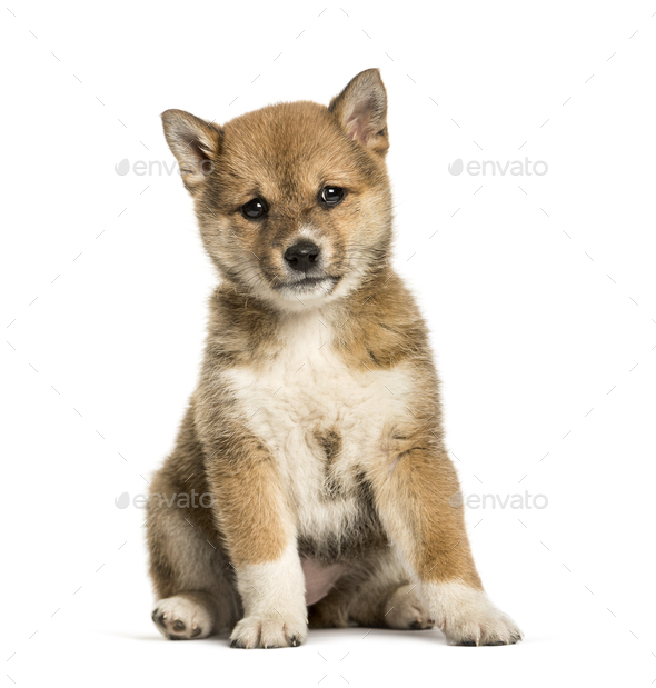 Shiba Inu puppy, 8 weeks old sitting against white background - Stock Photo - Images