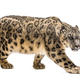 Snow leopard, Panthera uncia, also known as the ounce walking against white background - PhotoDune Item for Sale