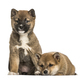 Shiba Inu puppies, 8 weeks old sitting against white background - PhotoDune Item for Sale