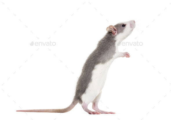 Young Rat rearing up to sniff against white background - Stock Photo - Images