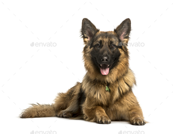German Shepherd lying against white background - Stock Photo - Images