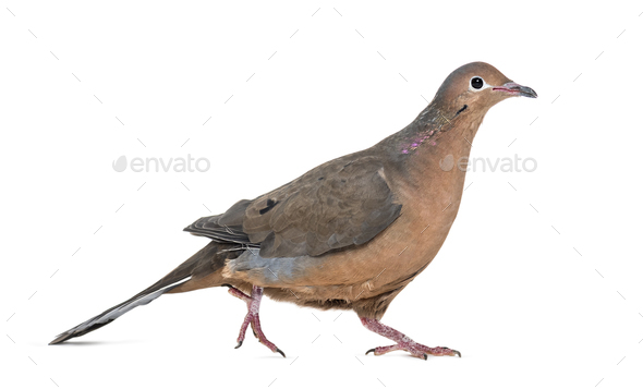 Socorro dove, Zenaida graysoni, is a dove walking against white background - Stock Photo - Images