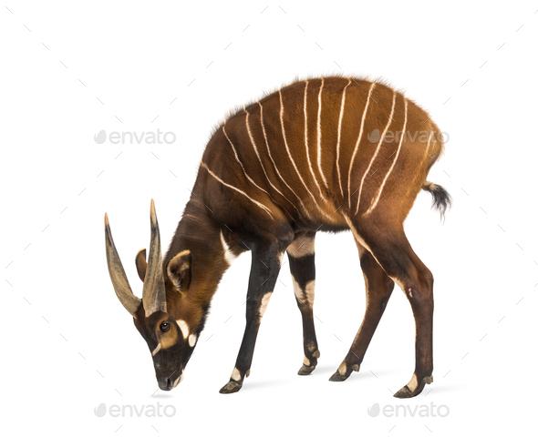 Bongo, antelope, Tragelaphus eurycerus standing against white background - Stock Photo - Images