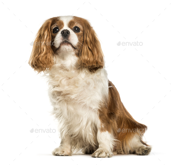 Cavalier King Charles Spaniel sitting against white background - Stock Photo - Images