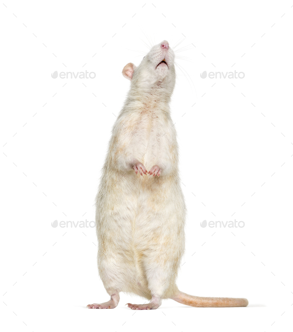 Domestic rat against white background - Stock Photo - Images